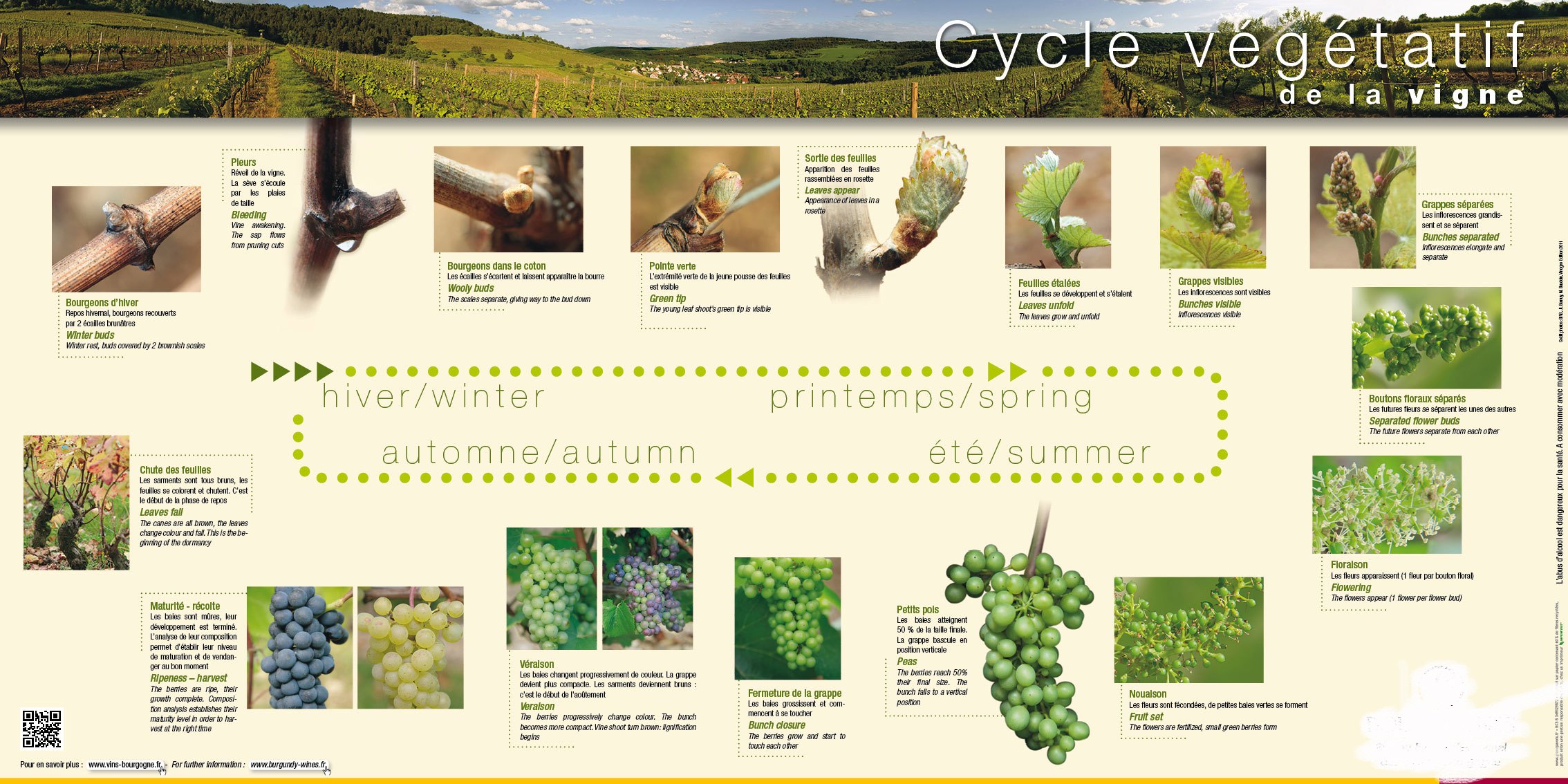 cycle-vegetatif-de-la-vigne